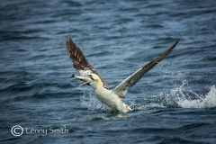 Gannet by Lenny Smith
