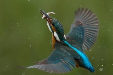 Kingfisher-Lenny